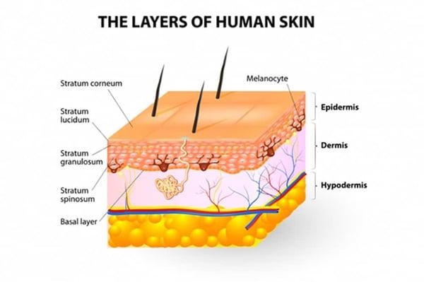 https://www.bepanthen.co.uk/en/understanding-your-skin/your-skins-structure/